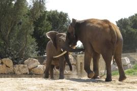 Echange entre deux éléphants, Réserve africaine de sigean
