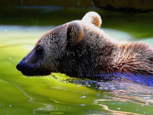 Ours au début de l'été dans le Parc animalier des Pyrénées