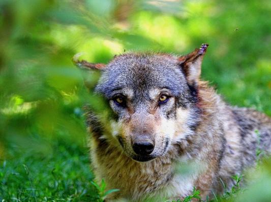 Loup au Parc animalier des Pyrénées