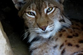Lynx à l'abri des regards