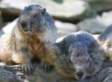 Les marmottes prennent la pose