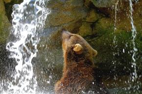 Ours dans la cascade au début de l'été