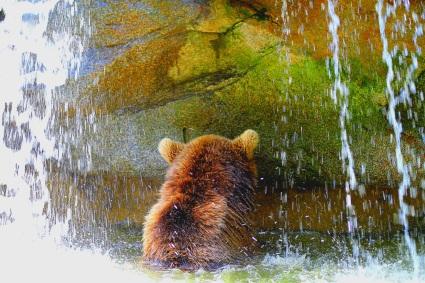 Ours de dos dans la cascade