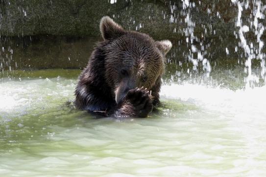 Bain d'un ours dans la chaleur du début de l'été