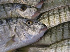 Les poissons de la Criée de Port-vendres