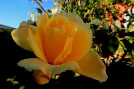 Rose d'hiver Villeneuve de la raho